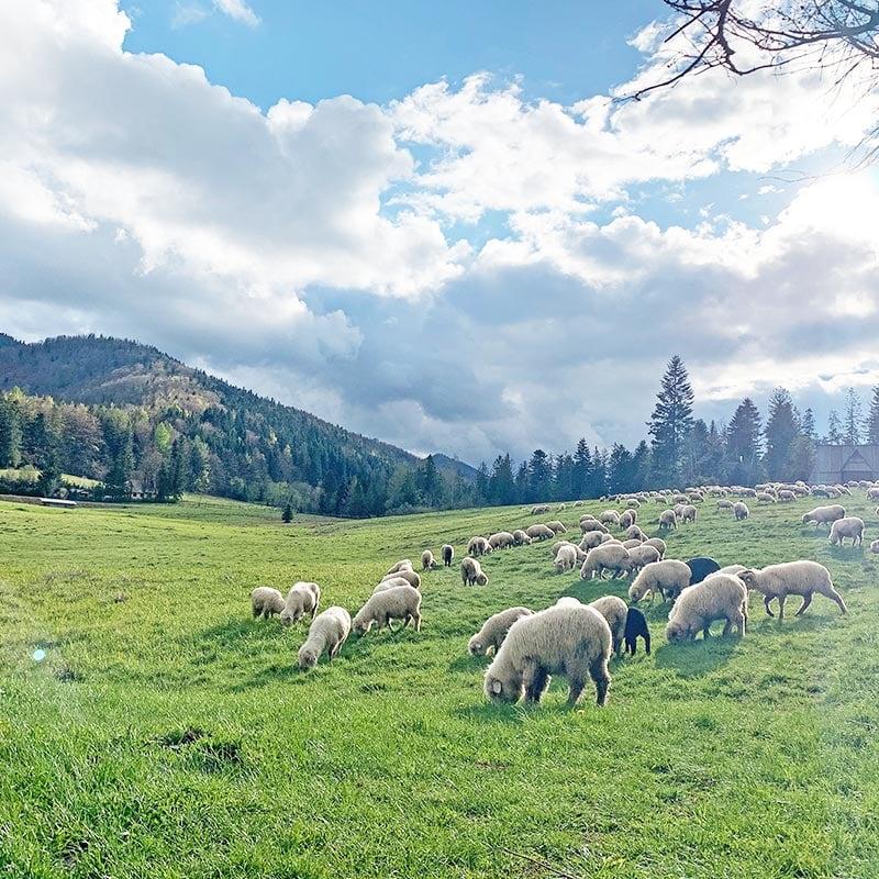 Kulturowy wypas owiec w Zakopanem - Dolina Strążyska